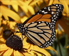 Monarch Butterfly:  I wish I could see more of them.  Planning on planting more butterfly-friendly plants this year.