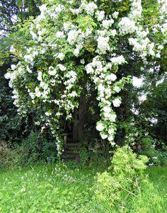 kiftsgate-rose-tree-tattenhall-gardenista