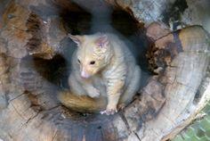 golden possum | Golden Possum - Tasmania, Australia - Travel Photos by Gary Arndt