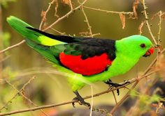 The red-winged parrot (Aprosmictus erythropterus), is a parrot native to Australia and Papua New Guinea