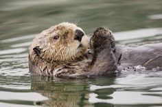 ~~ Sea Otter Profile ~~