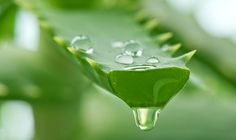 Ancient Egyptians named Aloe vera as the Plant of Immortality. You'll agree to this when you get to know the amazing healing properties of aloe vera plant. Discover the natural remedies by aloe vera. Acne Remedies, Natural Remedies, Gel Aloe Vera Puro, Aloe Vera For Hair, Natural Treatments, Natural Health, Health And Beauty, Herbalism, The Cure