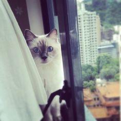 I have big eyes too#cats #kitten #lovecats #ragdoll #chinchilla #Persian #kitten #meow #lovecat