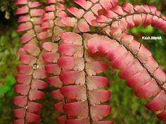 https://flic.kr/p/Gky2pQ | Adiantum sp. (Pteridaceae, Polypodiopsida), Parque Nacional da Serra da Canastra, São Roque de Minas, MG, Brasil | O único Adiantum cor-de-rosa que vi até hoje. The only pink species of  Adiantum I saw in my life.