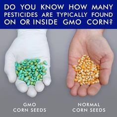 Guess how many pesticides are typically found inside or used on GMO corn. Is it:  A. 1 B. 3 C. 8 or more  Systemic neonicinitoid insecticides and fungicides that coat GMO corn and soy seeds are water-soluble and persist in the environment, working together to cause more severe bee die-offs.  Two neonicinitoids are banned in the EU because they are linked to Colony Collapse Disorder in bees, but are still widely used in the US.