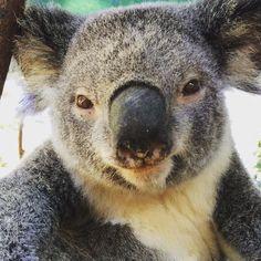 Smile for the camera beautiful Jenny! #cuteanimalselfie #cuteanimals #animallovers #australia #goldcoast #currumbinwildlifesanctuary #koala #jennyssowise #wannatakeaselfie by cute_animal_selfies http://ift.tt/1X9mXhV