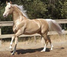 Galahad's Golden Warrior, a palomino American Saddlebred stallion with a natural tail