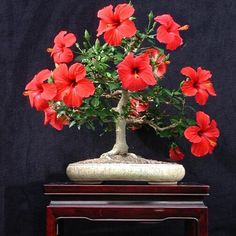 Giant Hibiscus Flower Seeds Hardy , 24 kinds, 24 Colors, DIY Home Garden potted or yard flower plant,bonsai flowers Ficus Bonsai, Flowering Bonsai Tree, Indoor Bonsai, Bonsai Plants, Bonsai Garden, Garden Pots, Bonsai Flowers, Bonsai Trees, Air Plants
