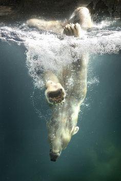Polar Bear Diving by Peter Csanadi