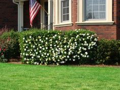 Blooms on the Bush... Not the Ground! - Finally... a fragrant gardenia plant that won't lose its flowers after late spring frosts.  Frost Proof Gardenias are famous for... •  keeping their blooms through unexpected freezes •  giant, fragrant blooms you can smell from a distance •  one tough plant that you don't have...