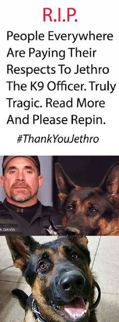 Jethro was shot three times while courageously protecting police officers from an armed robber. His handler, officer Ryan Davis, was quoted saying he would take Jethro's place in a heartbeat. Military Working Dogs, Military Dogs, Police Dogs, K9 Officer, War Dogs, Jethro, German Shepherd Dogs, German Shepherds, Service Dogs