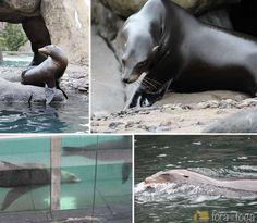 leões marinhos no Central Park zoo
