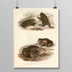 Vintage Frog Lithograph, Frog Wall Decor, Antique Frogs and Toads, Vintage Frog Art, Amphibian Print, Frog print, 391 by STANLEYprintHOUSE 3.00 USD Vintage Frog Lithograph, Frog Wall Decor, Antique Frogs and Toads, Vintage Frog Art, Reptile Print, Frog print, 391 This poster is printed using high quality archival inks, and will be of museum quality. Any of these posters will make a great affordable gift, or tie any room togethe .. https://www.etsy.com/ca/listing/470257682/vinta..
