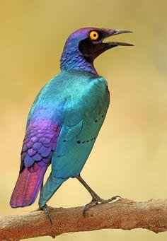 Purple Glossy Starling by *Jamie-MacArthur
