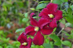Clematis 'Vitiwester' Burning Love ™ PPAF | Plants Nouveau