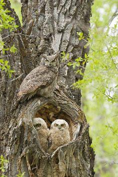 Los búhos no hacen nidos. En vez de esto, ellos buscan los sitios más adecuados para resguardarse y empollar, ya sea en huecos de los árboles, sótanos, edificios, cuevas, etc.