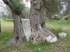 Αρχαια Γορτυνα Κρητης Greek Flowers, Forest Mountain, Tree Forest, Olive Tree, Flowering Trees, Places To See, Mountains, Landscape, Plants