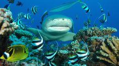 Plongée avec les Requins-Moorea-Expédition Requins-Citron à Moorea-1