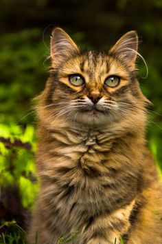 Amberstream- female warrior, littermate of Cliffwhisker, Bearstripe, and Windstorm, mate to Foxear
