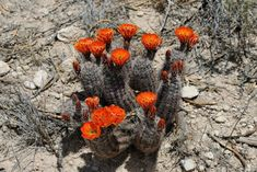 Texas, Usa, Nature, Plants, Cactus, Flora, Nature Illustration, Off Grid, Plant