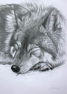 Sleeping Wolf Drawing  - Sleeping Wolf Fine Art Print