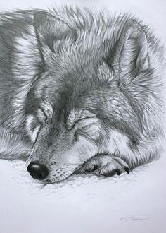 Sleeping Wolf Drawing - Sleeping Wolf Fine Art Print