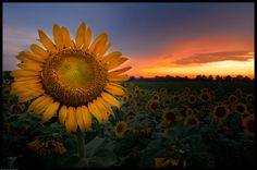 Sunflower field at dusk. Photographed at Agricenter in Memphis Tennessee.