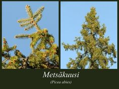 Metsäkuusi - puulajipuisto Picea Abies, Plants, Plant, Planets