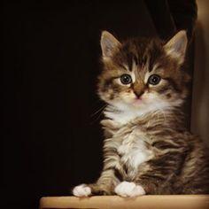#cute #kitten #tiger #adorable #serious #mini #stripes Kittens, Cats, Stripes, Photo And Video, Mini, Animals, Instagram, Cute Kittens, Gatos