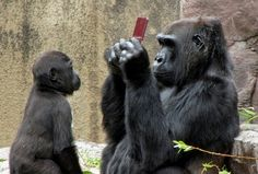 Sign of the times... Kid at the zoo dropped his Nintendo DS into the Gorilla cage. Then this happened.....
