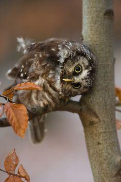 Tengmalm's Owl by Milan Zygmunt