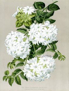 Very Slender Jasmine Jasminum gracillimum from Vintage Décor Prints by Paxton 1884