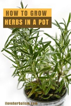 The Best And Easiest Herbs To Grow At Home - The history of herbs, their uses and methods of cultivation are always fascinating me.  I always want to have a herb garden but haven't got a time and a space to make that happen. But today I have found awesome video that explains how to grow herbs in a pot. It gave me enough  motivations to try them out. #herbgardening