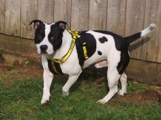 Can you give Rescue dogs a home? All of our dogs are looking for a new home. Find out more today at Dogs Trust! Shelter Dogs, Rescue Dogs, Dogs Trust, Staffordshire Bull Terrier, Animal Welfare, Beautiful Soul, Boston Terrier, Diesel, Pitbulls