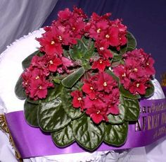 african violets pictures   African Violet Show 2009 Buffalo Hunt - Best Standard African Violet ~ I would like to get this one.