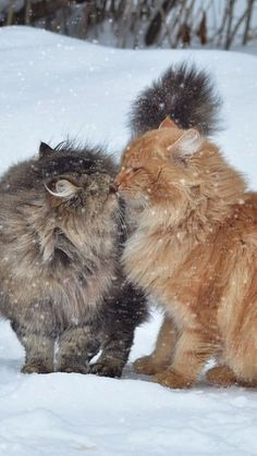 Maine Coon Cats Facts HOW TO CARE FOR FERAL CATS IN WINTER - Feral cats have it tough during the cold winter months. Here are some simple steps you can take to keep your feral cat colony safe from the elements. Pretty Cats, Beautiful Cats, Animals Beautiful, Cute Kittens, Cats And Kittens, Funny Animals, Cute Animals, Image Chat, Gatos Cats