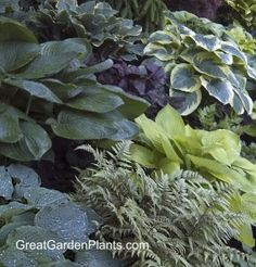 The elegant and fine texture of ferns pair well with Heucheras, Brunnera & Hostas. They need consistent moisture to do well and is a must have for any shade garden.