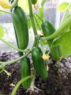 Komkommer | Diana's mooie moestuin Garden Seeds, Balcony Garden, Vegetable Garden, Garden Plants, Building Raised Garden Beds, Growing Vegetables, Permaculture, Outdoor Gardens, Backyard