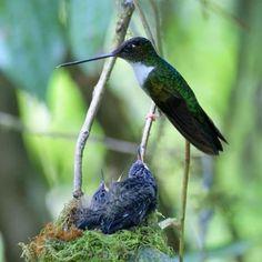 Colibrí Inca Acollarado, Collared Inca. Coeligena Torquata. #trochilidae #apodiformes  #bird #ave #birdingphotography #birds #animal #nature  #birdwatching #birding #wildlife #mothersday #hummingbird #colibri