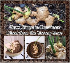 How to grow ginger from the variety you get at the grocery store!
