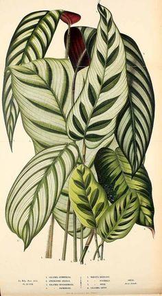 Calathea bachemiana E.Morren // 50 Printable Vintage Botanical Images