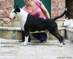 Black bullterrier - so handsome! Chien Bull Terrier, Bull Terrier Puppy, Best Dog Breeds, Best Dogs, I Love Dogs, Cute Dogs, Pit Bull, Dog Suit, Terrier Breeds