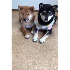 Pay Attention How The Dogs Respond 😍 Funny Animal Quotes, Funny Animals, Cute Animals, Cute Puppies, Cute Dogs, Akita Dog, Funny Animal Videos, Shiba Inu, Pay Attention