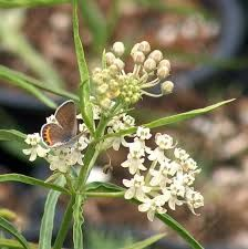 Narrowleaf milkweed
