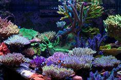 Wow love SPS.  December 2012 Tank of the Month - Darryl Vanacker's 200 US-gallon SPS Dominated Reef Aquarium