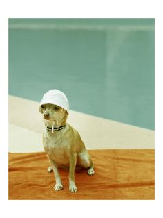 Chihuahua Photo at Mid Century Pool or by lucysnowephotography
