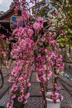 Jōnan-gū in Kyōto: A Paradise For Plum Blossoms Lovers. Plum blossoms trees for sale at Jōnan-gū shrine in Kyōto-Japan! Blossom Trees, Blossoms, Cherry Blossom, Red Plum, Plum Tree, Spring Hill, Kyoto Japan, Early Spring, Water Garden