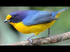 Aves coloridas da Mata Atlântica em alta definição - YouTube