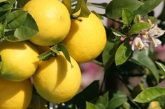 Zitronenbaum düngen