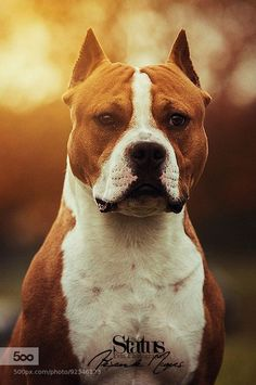 American Staffordshire Terrier - majestic
